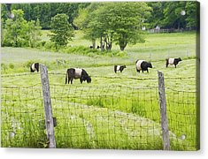 Belted Galloway Cows On  Farm Rockport Maine Photo Acrylic Print by Keith Webber Jr