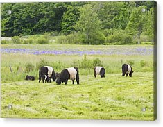 Belted Galloway Cows Pasture Rockport Maine Photograph Acrylic Print