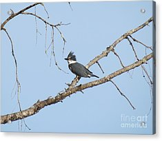 Belted Kingfisher Acrylic Print by Gayle Swigart