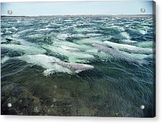Belugas Swimming And Molting Acrylic Print by Flip Nicklin