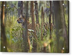 Bengal Tiger  17-month Old Acrylic Print by Richard Packwood