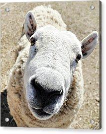 Benny The Sheep Acrylic Print