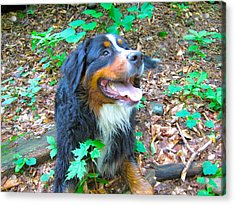 Bernese In The Woods Acrylic Print by Kathryn Barry