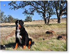 Bernese Mountain Dog In California Chaparral Acrylic Print