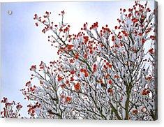Berries Acrylic Print by Lisa Williams