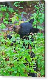 Berry Eating Bear Acrylic Print