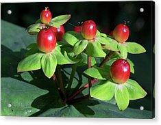 Berry Pretty Acrylic Print