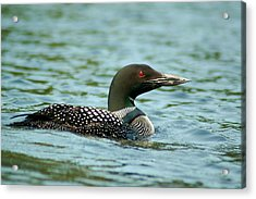 Best Loon On The Lake Acrylic Print