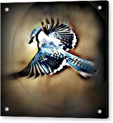 Betty Bluejay Acrylic Print