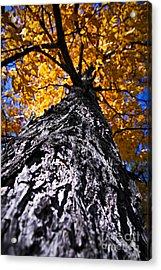 Big Autumn Tree In Fall Park Acrylic Print by Elena Elisseeva