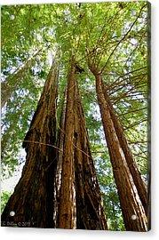 Big Basin Redwoods State Park Acrylic Print