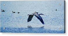 Acrylic Print featuring the photograph Big Blue Heron Flying Away From Me by John  Kolenberg