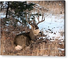 Big Buck At Rest Acrylic Print by Sara  Mayer