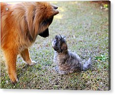 Big Dog, Small Dog Acrylic Print by Daniela Duncan