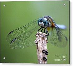 Big Eyes Blue Dragonfly Acrylic Print by Sabrina L Ryan