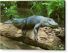 Acrylic Print featuring the photograph Big Gator On A Log by Myrna Bradshaw