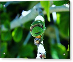 Big Green Caterpillar Acrylic Print by Werner Lehmann