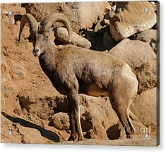 Big Horn Acrylic Print by Marc Bittan