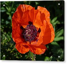 Acrylic Print featuring the photograph Big Red Poppy by Lynn Bolt