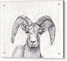 Bighorn Sheep Acrylic Print by Nicole Grattan
