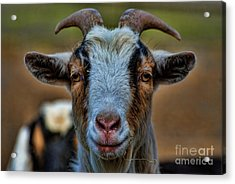 Billy Goat Acrylic Print by Paul Ward