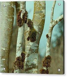 Birch Acrylic Print by Bonnie Bruno