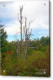 Acrylic Print featuring the photograph Birch Tree by Jim Sauchyn