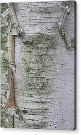 Birch Tree Acrylic Print by Kathy Peltomaa Lewis
