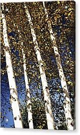 Birch Trees In Fall Acrylic Print by Elena Elisseeva