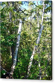 Acrylic Print featuring the photograph Birch Trees by Jim Sauchyn