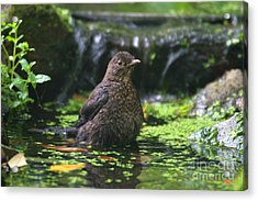 Bird Bath Acrylic Print