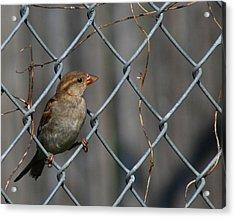Bird In A Wire Acrylic Print by Joe Wicks