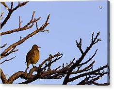 Bird In Dry Tree Acrylic Print by Joab Souza