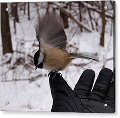 Bird In The Hand Acrylic Print by Joshua House
