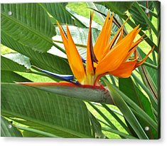 Acrylic Print featuring the photograph Bird Of Paradise by Craig Wood