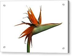 Bird Of Paradise Flower Acrylic Print by Victor De Schwanberg