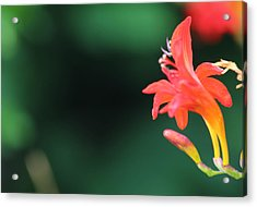 Bird Of Paradise Acrylic Print by Janet Mcconnell