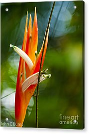 Acrylic Print featuring the photograph Bird Of Paradise by John Burns