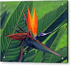 Acrylic Print featuring the photograph Bird Of Paradise by Larry Nieland