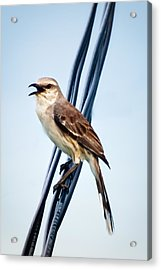 Bird On Wire Acrylic Print