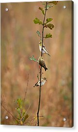 Bird Stack Acrylic Print by Dan Wells