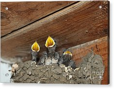 Birds In Nest Picture Acrylic Print by Preda Bianca