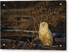 Birds Of Bc - No.12 - Snowy Owl - Bubo Scandiacus Acrylic Print by Paul W Sharpe Aka Wizard of Wonders