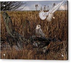 Birds Of Bc - No.14 - Snowy Owl Fly By Acrylic Print by Paul W Sharpe Aka Wizard of Wonders