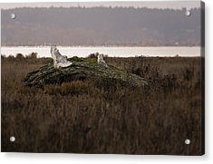 Birds Of Bc - No.15 - Snowy Owl - Bubo Scandiacus Acrylic Print by Paul W Sharpe Aka Wizard of Wonders