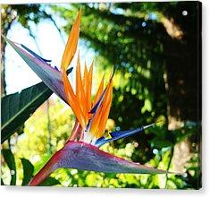 Birds Of Paradise In Tamborine Australia Acrylic Print