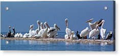 Birds Pelicans Of Cedar Key Acrylic Print