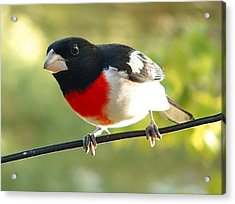 Birds Rose Breasted Grosbeak Acrylic Print