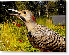 Birds Young Flicker Acrylic Print