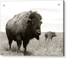 Bison And Calf Acrylic Print by Olivier Le Queinec